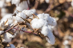 Cotton Plant Ready to Harvest Royalty Free Stock Image