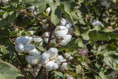 The Cotton Field. Cotton plant Ready to harvest in a cotton field, Cotton ball close up in full bloom - agriculture farm Royalty Free Stock Images