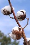 Cotton plant. Ripe cotton ready for harvesting Royalty Free Stock Photos