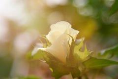 Cotton Plant - Cotton tree flower. Cotton bud detail Cotton Plant - Cotton tree flower Royalty Free Stock Photo