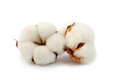 Cotton plant  two flowers Stock Images