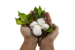 Cotton plant in two hands. Closeup in studio on white background Royalty Free Stock Photography