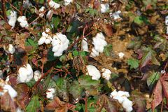 Cotton plantation in the central Greece plain before harvest. In October, detail stock image