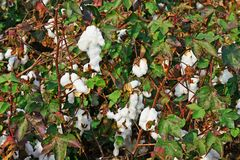 Cotton plantation in the central Greece plain before harvest. In October royalty free stock photos