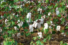 Cotton plantation in the central Greece plain before harvest. In October royalty free stock images