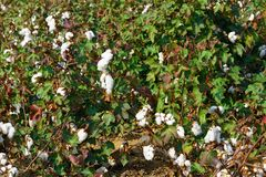 Cotton plantation in the central Greece plain before harvest. In October, detail stock photography