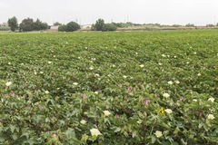 Cotton plantation in flower. Harvest stock photos