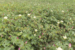 Cotton plantation in flower Stock Images