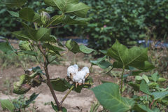 Cotton plantation. Green leaves. Blooming cotton. Greece stock image
