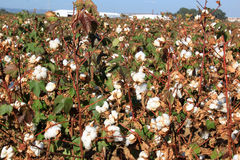 Cotton plantation near Seville in Andalusia, Spain. Cotton is a soft, fluffy staple fiber that grows in a boll, or protective capsule, around the seeds of cotton royalty free stock photos