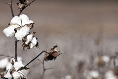 Cotton Plants Royalty Free Stock Image