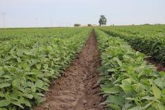 Cotton Plants Blytheville 2019 IV stock images