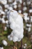 Cotton plants Royalty Free Stock Photography