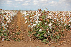 Cotton plants in field. Rows of cotton plants in field Stock Images
