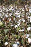 Cotton plants in field Royalty Free Stock Photos