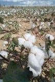 Cotton plants field Stock Photo