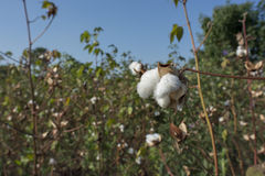 Cotton plants Royalty Free Stock Photo