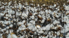 Cotton plants Stock Images