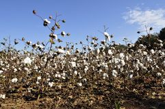 Cotton plants Stock Image
