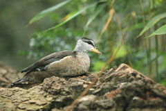 Cotton pygmy goose. The cotton pygmy goose sitting on the trunk Stock Image