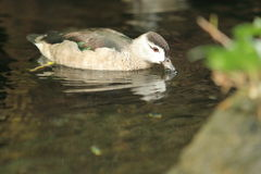 Cotton pygmy goose Royalty Free Stock Photo