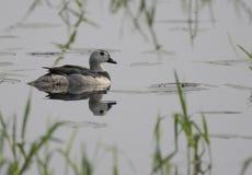 Cotton pygmy goose Nettapus coromandelianus Royalty Free Stock Photo