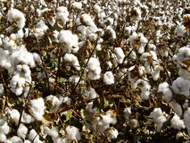 Cotton in the raw Stock Photography