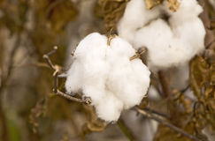 Cotton Ready for Harvest Stock Images