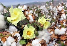 Cotton ready for harvesting Stock Photo