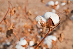 Cotton Ready for Picking Royalty Free Stock Photo