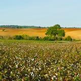Cotton Royalty Free Stock Photo