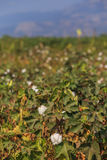 Cotton ripe field autumn Royalty Free Stock Photos