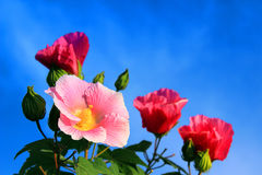 Cotton rose blooming flowers. Autumn season, the cotton rose flowers are colourful, red, pink, white, colorful Stock Images