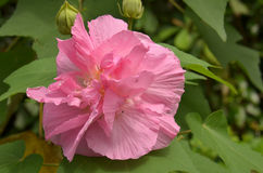 Cotton Rose Hibiscus mutabilis Stock Photos