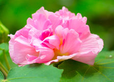 Cotton rose. Pink coloured cotton rose flower in full blossom. This flower is also known as land lotus Royalty Free Stock Photography