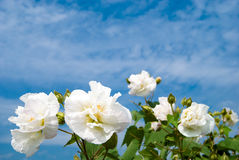Cotton rosemallow. The blooming Cotton rosemallow flowers Royalty Free Stock Images