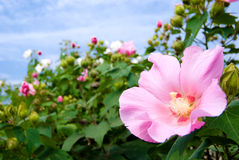 Cotton rosemallow Stock Photography