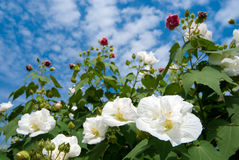 Cotton rosemallow. The blooming Cotton rosemallow flowers Stock Image