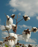 Cotton Season 3. Cotton just before the harvest Royalty Free Stock Photos