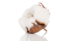 Cotton soft plant. With reflection Stock Images