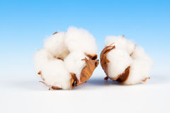 Cotton soft plant. With reflection on blue background Stock Photography