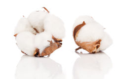 Cotton soft plant with reflection. On white background Royalty Free Stock Photos
