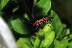 Cotton stainer on branches is considered an important insect. Found in cotton plots like biting royalty free stock photo