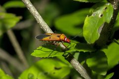 Cotton stainer on branches is considered an important insect. Found in cotton plots like biting stock photography