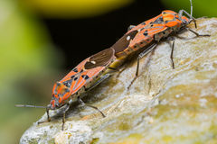 Cotton Stainer Bug Stock Image