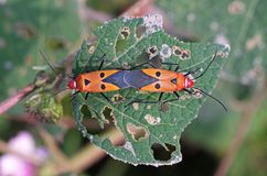 Cotton stainer bug mating Stock Image