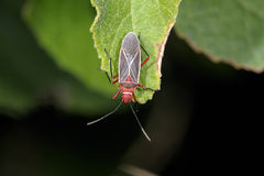 Cotton stainer, dysdercus saturellus Royalty Free Stock Images