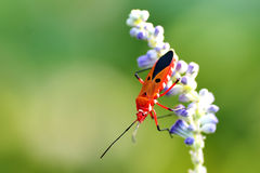 Cotton stainer Royalty Free Stock Images