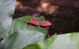 Cotton stainer. Shot was taken in Mumbai. This bug is also called as True bug Royalty Free Stock Photos