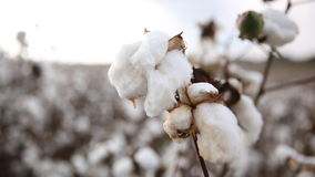 Cotton Stock Images